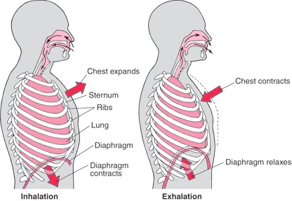 lung-diaphragm